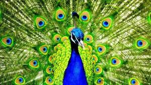 wallpaper-peacock-photo-07