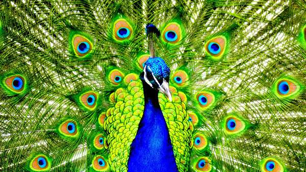wallpaper-peacock-photo-07