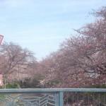 【最新画像】2017年3月31日現在の岩倉五条川桜まつりの開花状況